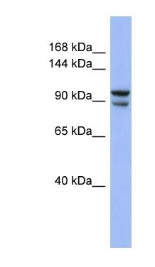Western blot - BBX antibody (ab94418)