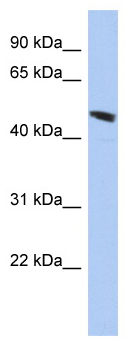 Western blot - C9orf68 antibody (ab94439)