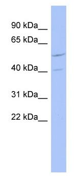 Western blot - ZNF232  antibody (ab94450)