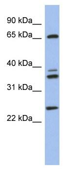 Western blot - ATP6V1A antibody (ab94459)
