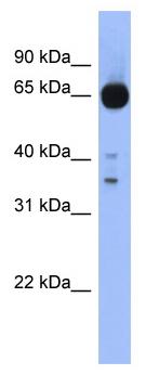 Western blot - ZIC4 antibody (ab94466)
