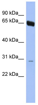 Western blot - TAF5L antibody (ab94468)