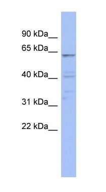 Western blot - ZNF689 antibody (ab94473)