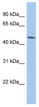 Western blot - Prostaglandin E Receptor EP3 antibody (ab94496)