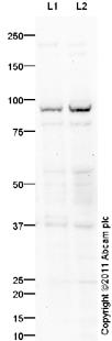 Western blot - Mitofusin 1 antibody (ab94508)