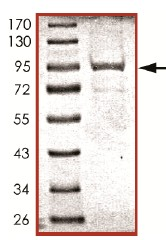 SDS-PAGE - CD45 protein (Active) (ab94517)