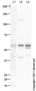 Western blot - TXNRD2 antibody (ab94522)