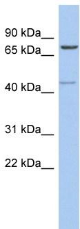 Western blot - PEX5 antibody (ab94533)