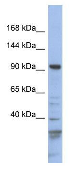 Western blot - Myosin 1C antibody (ab94539)