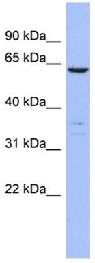 Western blot - PLS1 antibody (ab94605)