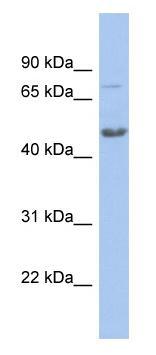 Western blot - Cbx8 antibody (ab94642)