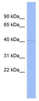 Western blot - RG9MTD1 antibody (ab94643)