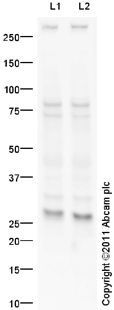 Western blot - EMX2 antibody (ab94713)
