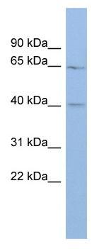 Western blot - MLC1  antibody (ab94730)