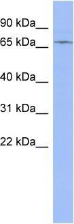 Western blot - ZNF133 antibody (ab94754)