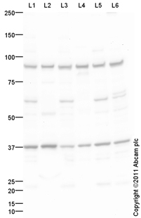 Western blot - Anti-Argonaute 4 with anti-GAPDH internal loading control antibody (ab94772)