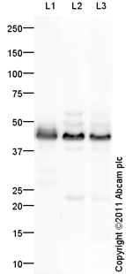 Western blot - CD16 antibody (ab94773)