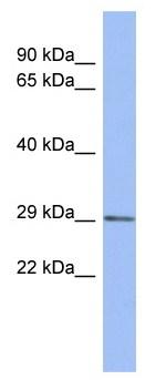 Western blot - CXorf26 antibody (ab94778)