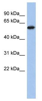 Western blot - ZNF496 antibody (ab94841)