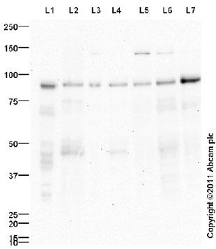 Western blot - TLE3 antibody (ab94972)