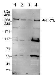 Western blot - FRYL antibody (ab95011)