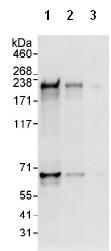 Western blot - FANCM antibody (ab95014)