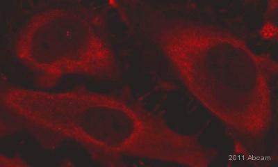 Immunocytochemistry/ Immunofluorescence - FANCM antibody (ab95014)