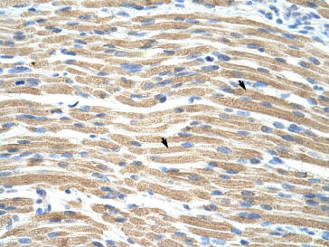 Immunohistochemistry (Formalin/PFA-fixed paraffin-embedded sections) - TEF1 antibody (ab95029)