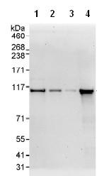 Western blot - Exonuclease 1 antibody (ab95068)