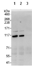 Immunoprecipitation - Exonuclease 1 antibody (ab95068)