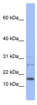 Western blot - EDF1 antibody (ab95110)