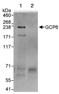 Immunoprecipitation - GCP6 antibody (ab95172)