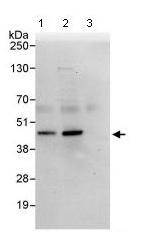 Western blot - IMPACT antibody (ab95175)