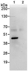 Immunoprecipitation - IMPACT antibody (ab95175)