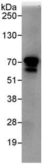 Immunoprecipitation - BRAP antibody (ab95179)