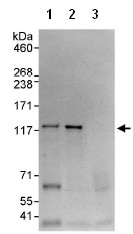 Immunoprecipitation - Snf1lk2  antibody (ab95180)