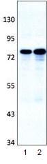 Western blot - DIP13B antibody (ab95196)