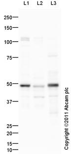 Western blot - PAX8 antibody (ab95217)