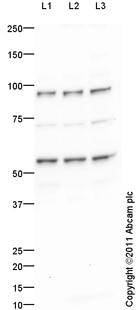 Western blot - PAX1 antibody (ab95227)