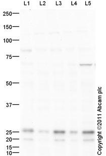 Western blot - Peroxiredoxin 4 antibody (ab95232)