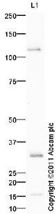 Western blot - Cdk4 antibody (ab95255)