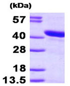 SDS-PAGE - HspBP1 protein (His tag) (ab95268)