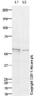 Western blot - PACAP receptor antibody (ab95278)