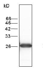 Western blot - Glutathione S Transferase mu antibody [6] (ab95285)