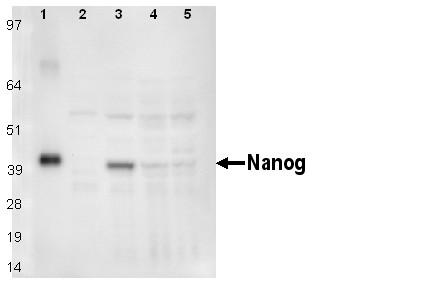 Western blot - Nanog antibody [PR-3F6] (ab95335)