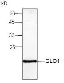 Western blot - GLO1 antibody [14] (ab95336)