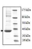 SDS-PAGE - p38 protein (His tag) (ab95445)
