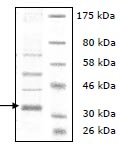 SDS-PAGE - LOXL2 protein (Human) (ab95446)
