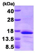 SDS-PAGE - Glutaredoxin 2 protein (His tag) (ab95471)