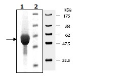 SDS-PAGE - PKM2 protein (Active) (ab95474)